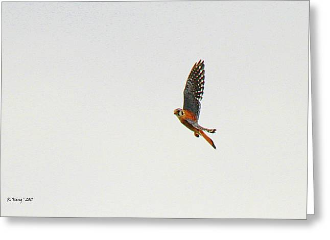 Secretive Birds Greeting Cards - American Kestrel In Flight Greeting Card by Roena King