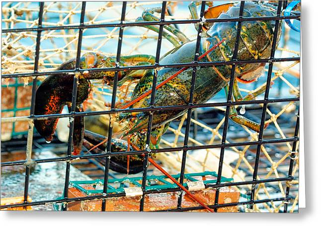 Netting Greeting Cards - American Lobster in trap in Chatham on Cape Cod Greeting Card by Matt Suess