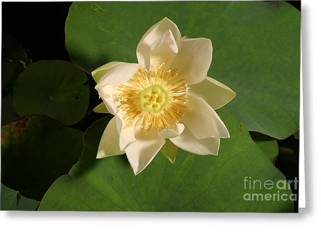 Aquatic Greeting Cards - American Lotus Nelumbo Lutea Opening Greeting Card by Ted Kinsman