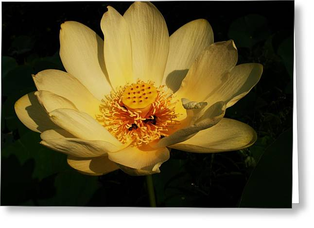 Buttonweed Greeting Cards - American Lotus Greeting Card by Ron Kruger