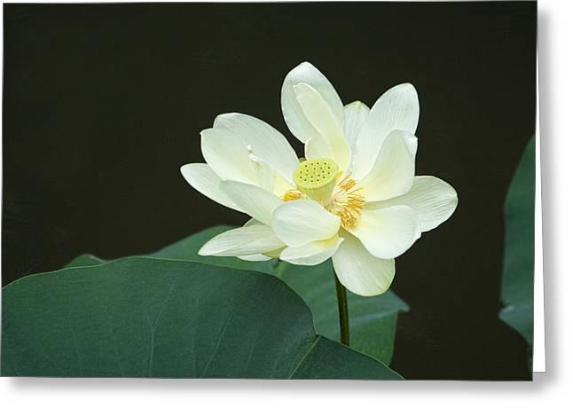 Graceful Lotus Greeting Cards - American Lotus Wildflower Greeting Card by Kathy Clark