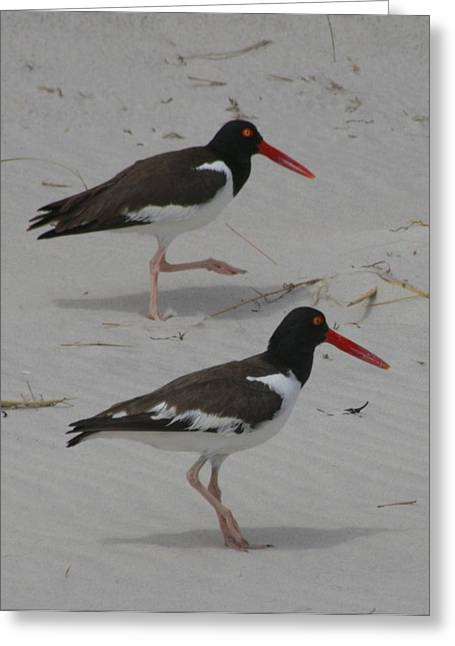 Shorebird Greeting Cards - American Oyster Catchers Greeting Card by Christopher Kirby