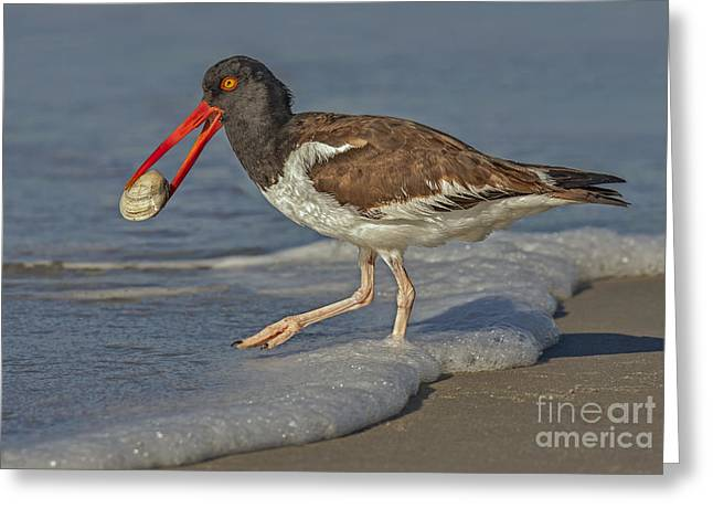 Seashell Art Greeting Cards - American Oystercatcher Grabs Breakfast Greeting Card by Susan Candelario