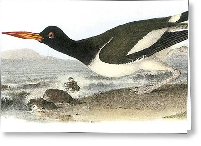 Seabirds Greeting Cards - American Oystercatcher Greeting Card by John James Audubon