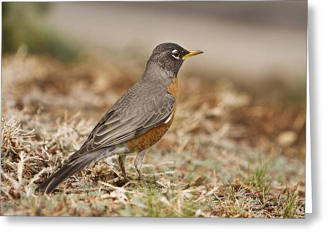 American Robin Greeting Cards - American Robin in the Hood Greeting Card by James BO  Insogna