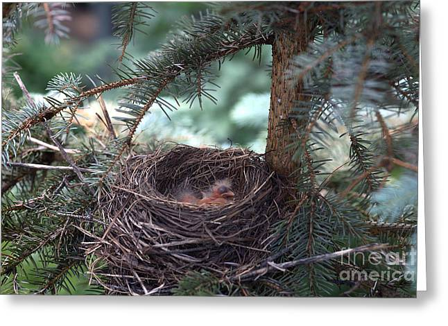 American Robin Greeting Cards - American Robin Nestlings Greeting Card by Ted Kinsman