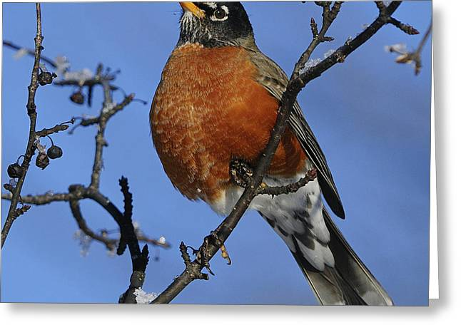 American Robin Greeting Cards - American Robin... Greeting Card by Nina Stavlund