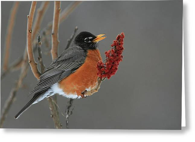 American Robin Greeting Cards - American Robin On Sumac Greeting Card by Bruce J Robinson