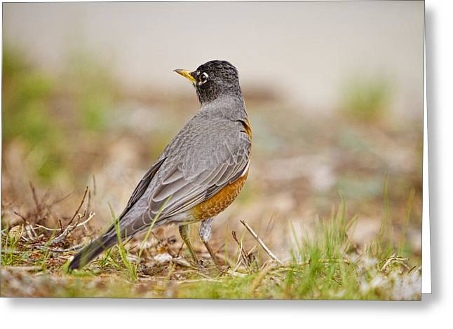 American Robin Greeting Cards - American Robin Portrait Greeting Card by James BO  Insogna