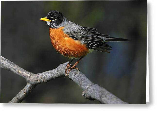 American Robin Greeting Cards - American Robin Greeting Card by Tony Beck
