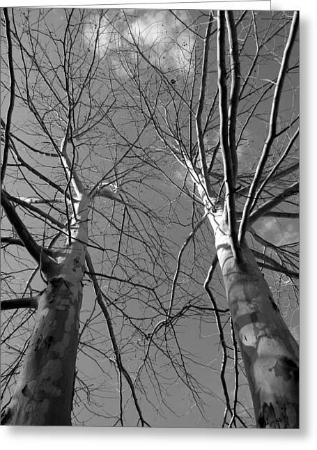 American Sycamore Greeting Cards - American Sycamore Black and White Greeting Card by Warren Thompson