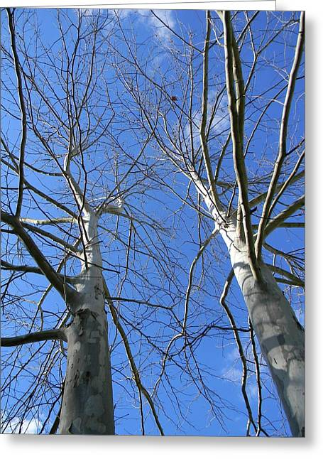 American Sycamore Greeting Cards - American Sycamore Color Greeting Card by Warren Thompson