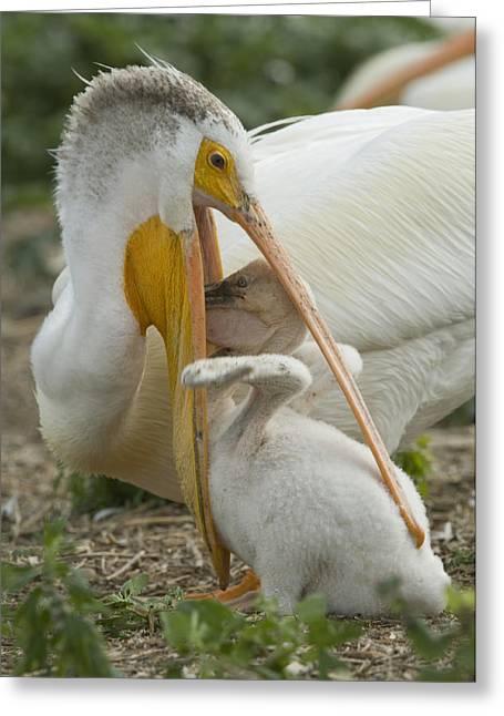 American White Pelican (pelecanus Erythrorhynchos) Greeting Cards - American White Pelican Feeding Greeting Card by Klaus Nigge