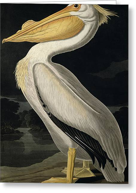 Wild Animals Paintings Greeting Cards - American White Pelican Greeting Card by John James Audubon
