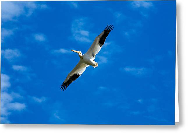 Flying Animal Greeting Cards - American White Pelican Greeting Card by Marilyn Hunt