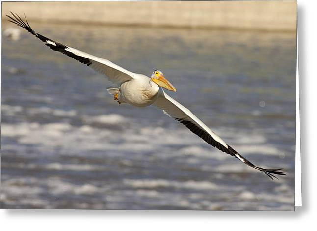 Seabirds Greeting Cards - American White Pelican Pelecanus Greeting Card by Matthias Breiter