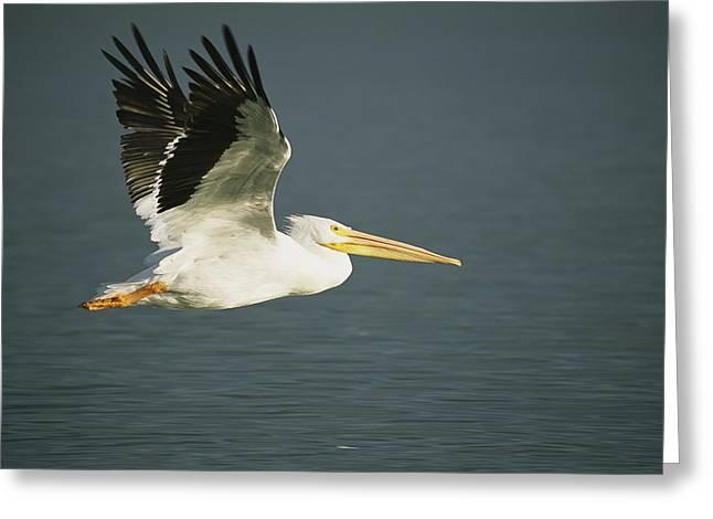 American White Pelican (pelecanus Erythrorhynchos) Greeting Cards - American White Pelican Pelecanus Greeting Card by Roy Toft