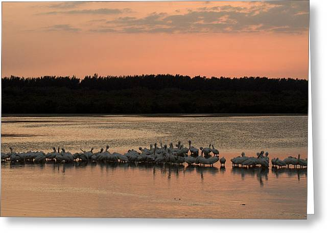 American White Pelican (pelecanus Erythrorhynchos) Greeting Cards - American White Pelicans At Sunset Greeting Card by Klaus Nigge
