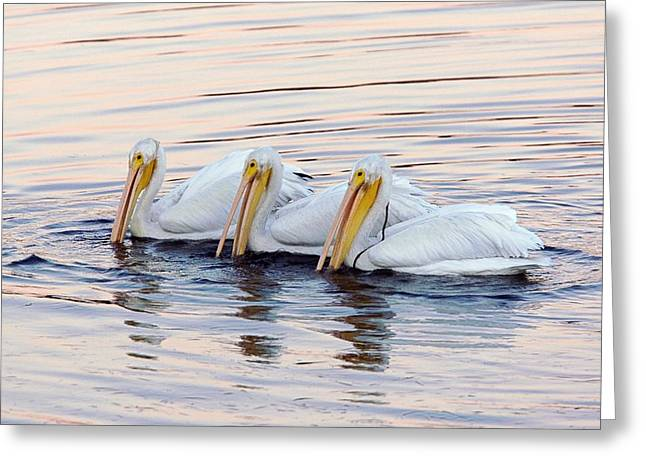 Ornithological Photographs Greeting Cards - American White Pelicans Greeting Card by Bob Gibbons