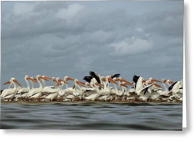 American White Pelican (pelecanus Erythrorhynchos) Greeting Cards - American White Pelicans Cluster Greeting Card by Klaus Nigge