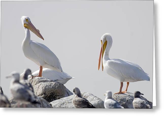 American White Pelican (pelecanus Erythrorhynchos) Greeting Cards - American White Pelicans Pelecanus Greeting Card by Rich Reid