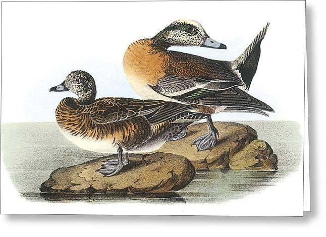 Water Fowl Paintings Greeting Cards - American Wigeon Greeting Card by John James Audubon
