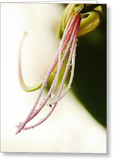 Nobilis Greeting Cards - Amherstia Nobilis 1 Greeting Card by Marilyn Hunt