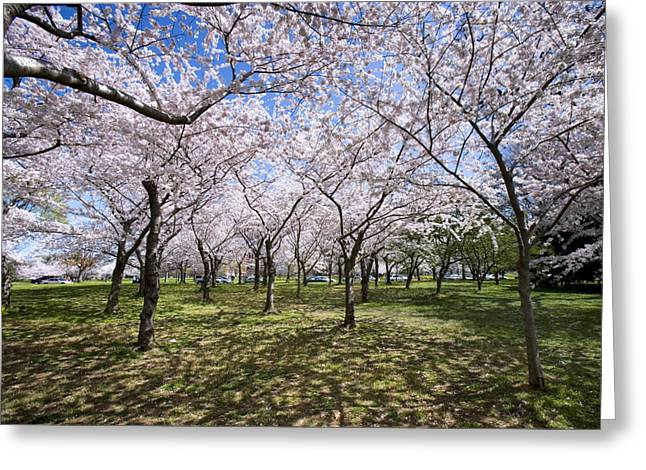 Cherry Blossom Festival Greeting Cards - Amid Cherry Trees Washington D.C. Cherry Blossom Festival Greeting Card by Brendan Reals