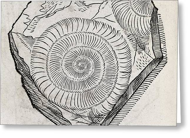 Ammonite Fossil, 16th Century Greeting Card by Middle Temple Library