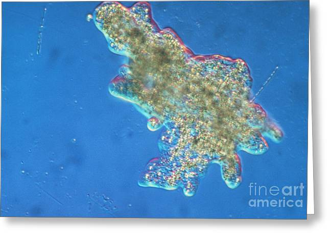 Micrography Greeting Cards - Amoeba Greeting Card by Eric V. Grave