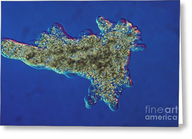 Amoeba Proteus Lm Greeting Card by Eric V. Grave