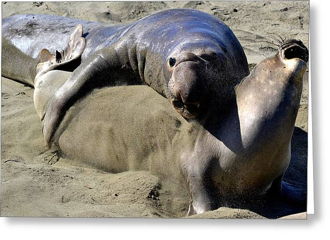 Elephant Seals Greeting Cards - Amorous Greeting Card by Fraida Gutovich