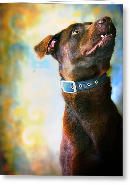 Chocolate Lab Greeting Cards - Amos Greeting Card by Toni Hopper