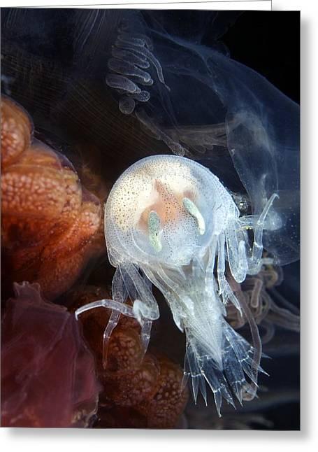 Amphipod Inside A Lion's Mane Jellyfish Greeting Card by Alexander Semenov