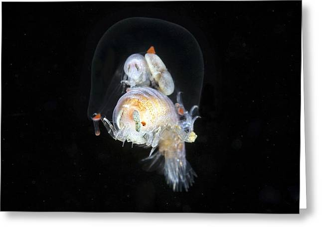 Jelly Fish Greeting Cards - Amphipods Inside A Hydromedusa Greeting Card by Alexander Semenov