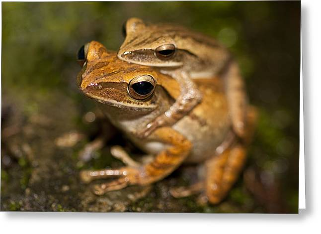Fertilize Greeting Cards - Amplexus Greeting Card by Zoe Ferrie