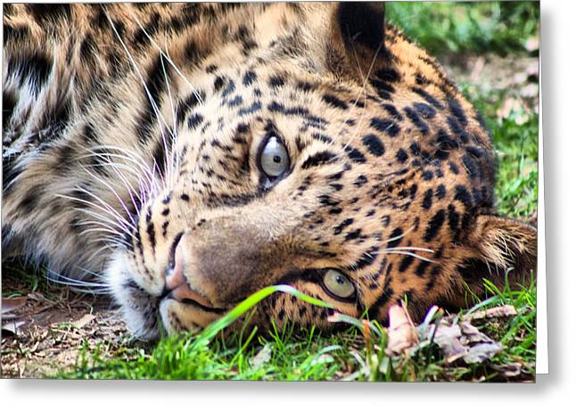 Greenville Zoo Greeting Cards - Amur Leopard Greeting Card by Lynne Jenkins