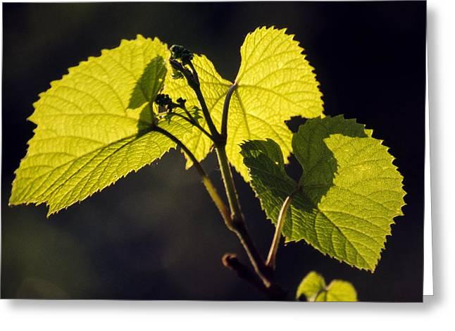 Amur River Grape Leaves (vitis Amurensis) Greeting Card by Dr. Nick Kurzenko