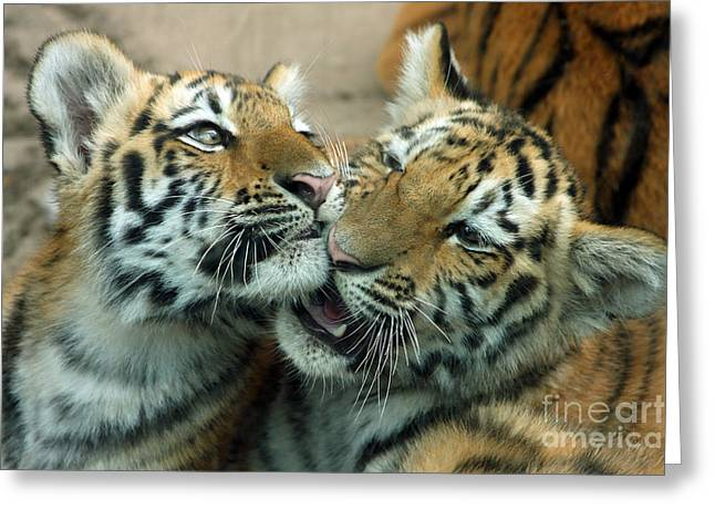 Rosamond Greeting Cards - Amur Tiger Cubs Greeting Card by Kathy Eastmond