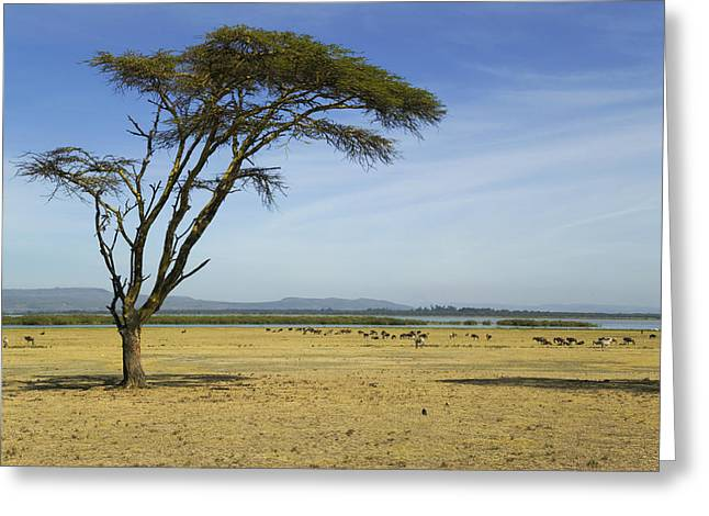 Savannah Nature Photography Greeting Cards - An Acacia Tree On Crescent Island Greeting Card by Nigel Hicks