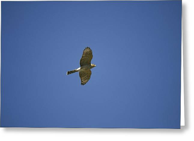 Flying Animal Greeting Cards - An Accipiter Hawk Soars Greeting Card by Raymond Gehman