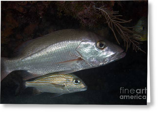 Undersea Photography Greeting Cards - An Adult And Juvenile White Grunt Fish Greeting Card by Terry Moore