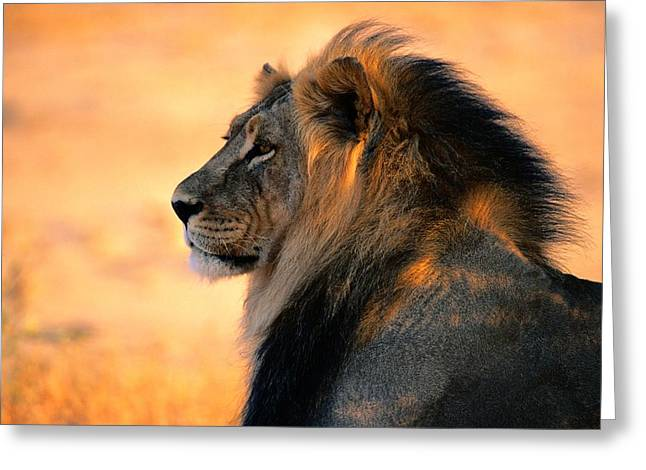 Head And Shoulders Photographs Greeting Cards - An Adult Male African Lion, Panthera Greeting Card by Nicole Duplaix