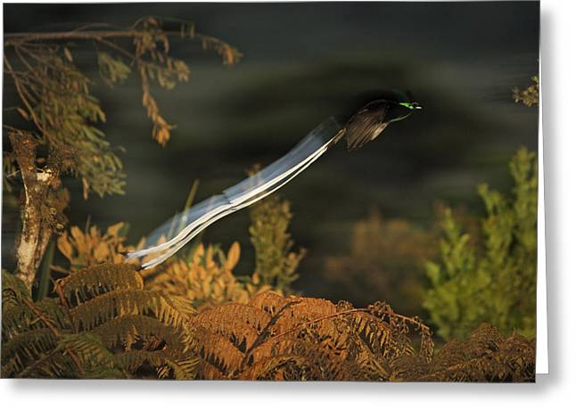 Flying Animal Greeting Cards - An Adult Male Ribbon-tailed Astrapia Greeting Card by Tim Laman