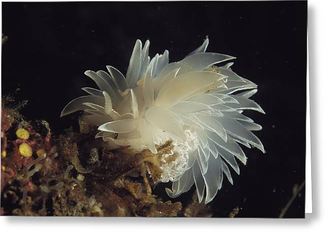Alaska Photography Greeting Cards - An Aeolid-type Nudibranch Moves Greeting Card by Bill Curtsinger