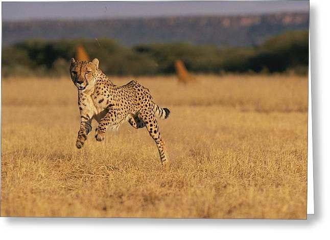 Cheetah Running Greeting Cards - An African Cheetah Acinonyx Jubatus Greeting Card by Chris Johns