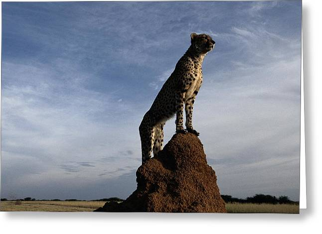 An African Cheetah Guards Its Territory Greeting Card by Chris Johns
