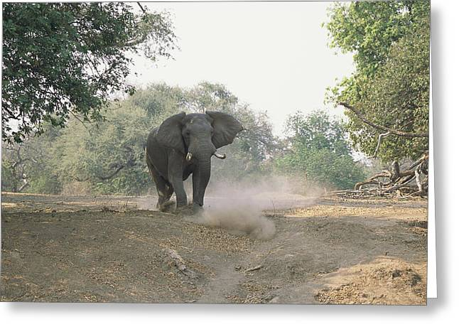 Zimbabwe Greeting Cards - An African Elephant In A Threatening Greeting Card by Beverly Joubert