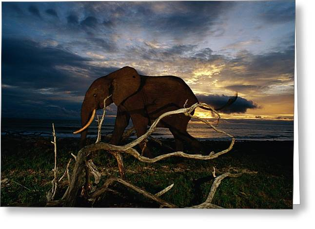 Remote Cameras Greeting Cards - An African Forest Elephant  Walking Greeting Card by Michael Nichols