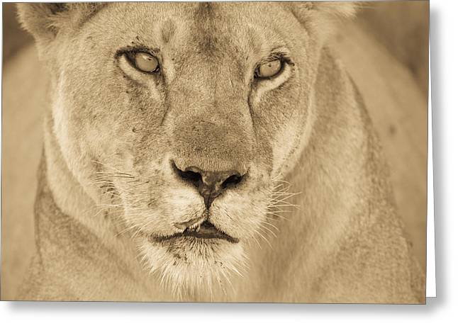 An African Lion Looks Into The Distance Greeting Card by Ralph Lee Hopkins